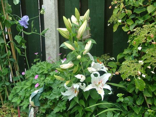 oriental lily flowering