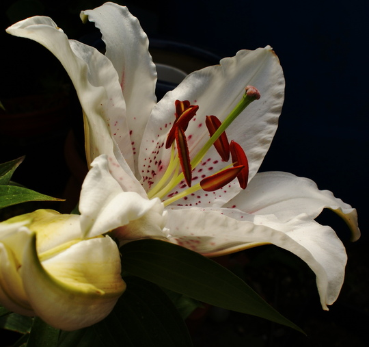 Oriental Lily (Lilium oriental)