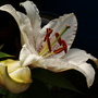 Oriental Lily (Lilium oriental)