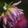 "Dahlia ""Lavender Perfection"" (Dahlia Pinnata {Decorative Dhalia})"