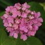 Hydrangea (H macrophylla)