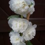 Close up of Double White Hollyhock (Alcea)