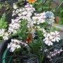 Pelargonium 'L'elegant'