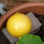 Pumpkin growing well