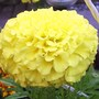 "African marigold ""Doubloon"""