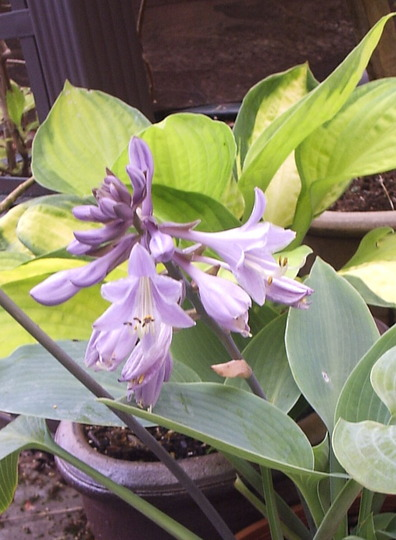 """Flowers of Hosta """"Halcyon"""", with foliage of H. """"Captain Kirk"""" behind."""
