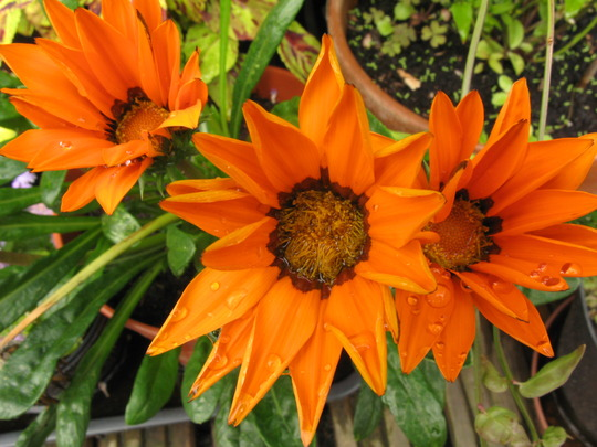 Gazania after a shower