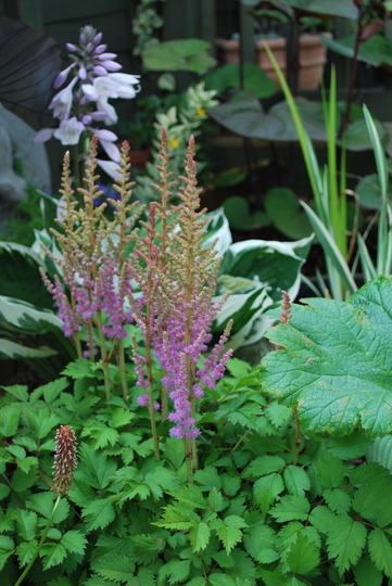 Astible in the bog garden...... (Astilibe chinensis pumila)