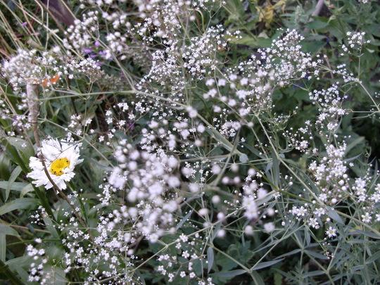 Gypsophila   '  Snowflake  '