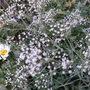 Gypsophila_snowflake_