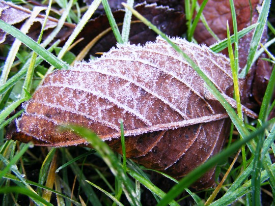 Frosted Cherry Tree Leaf