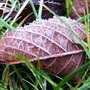 Cherry_tree_leaf_frosted