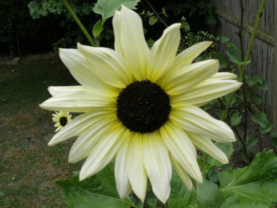 Italian sunflower