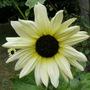Italian sunflower