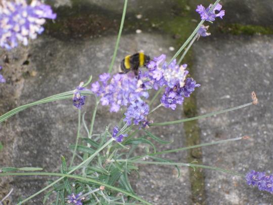 Bee  enjoying  the  Lavender