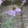Bee  enjoying  the  Lavender