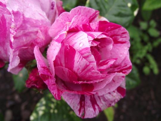 Roses - Ferdinand Pichard