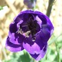Delphinium_black_knight_