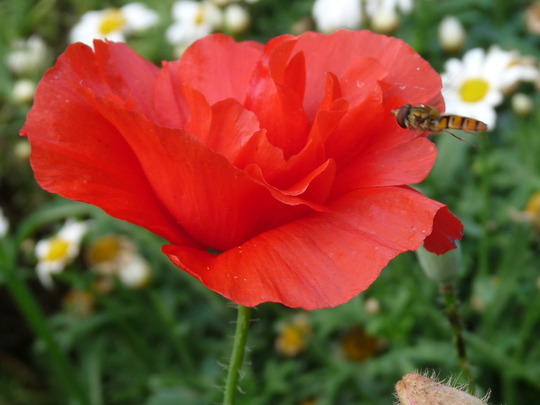 Double red Poppy and friend......:o) (Papaver)