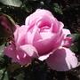 Roses - Dearest