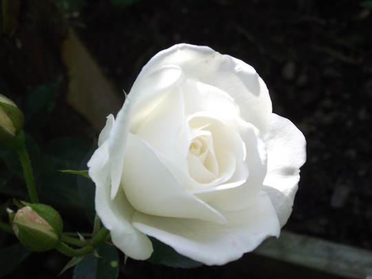Roses - Iceberg (climber)