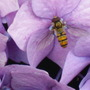 Hydrangea with Hoverfly