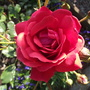 Roses - Mr Lincoln