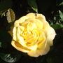 Roses - Arthur Bell (Climbing)
