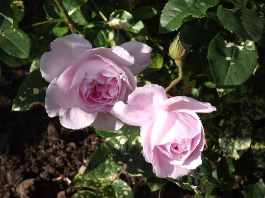 Roses - English Miss