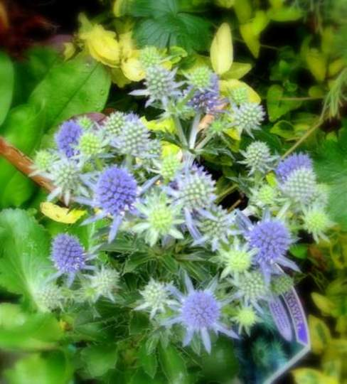 "Sea Holly alpina  ""Blue star"" (Eryngium planum (Sea Holly) Alpina)"