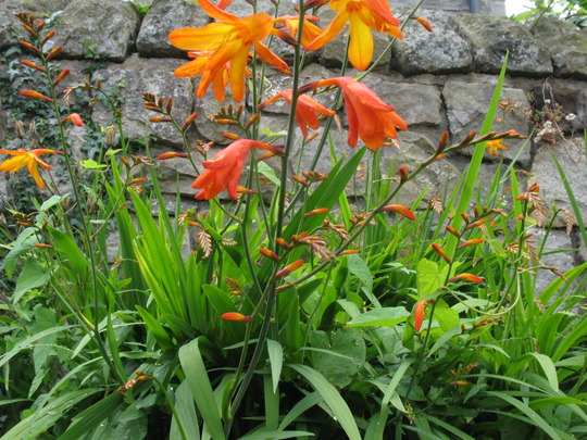 Bed of crocosmia