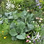 Cabbages taking over the flower bed!