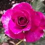 Roses - Perfume De Violette
