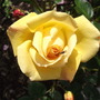 Roses - Chinatown