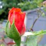ANOTHER RED ROSE BUD