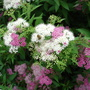 spiraea japonica shirobana (spiraea japonica shirobana)