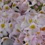 Mrs Lowinski - a rhododendron in my garden. Miss Lewinski was somebody else.