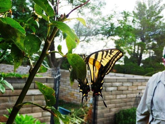 """""""Giant Swallowtail Butterfly"""""""