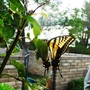"""Giant Swallowtail Butterfly"""