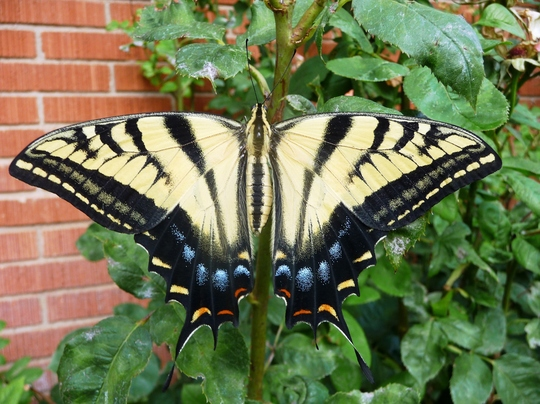 """Giant Swallowtail Butterfly 2"""