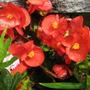 Begonias (Begonia herbacea (Begonia))
