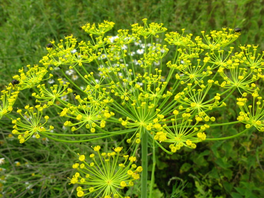 Some kind of wild Dill thingy