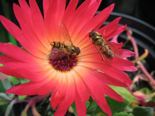 Mesembryanthemum crystallinum + Hovers