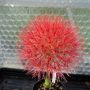 One of the himalayan bulbs