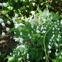 Thalictrum Delavayi 'Album' (Thalictrum delavayi (Meadow rue))