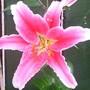 Star_gazer_lily_003