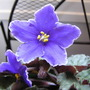 Purple_african_violet