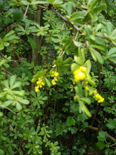 Berberis (yellow) (Berberis)