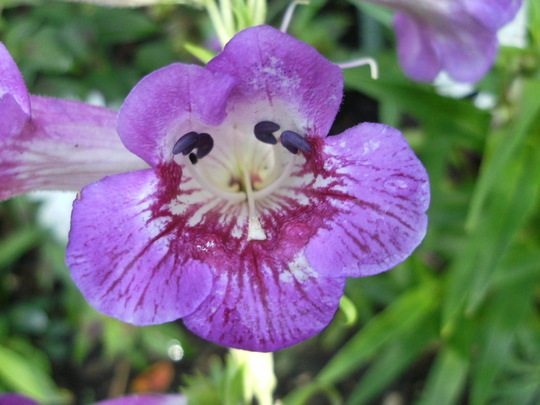 Penstemon  '  Bramble Berry '
