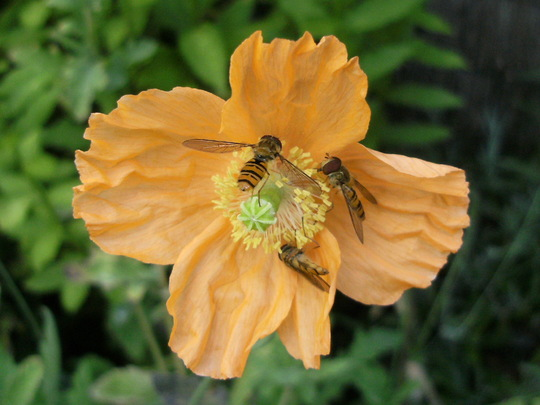 Iceland Poppy with Hoverflies